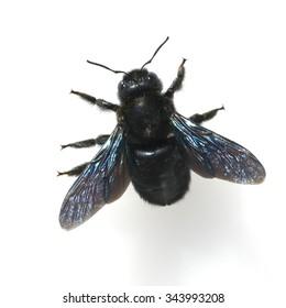 Carpenter Bee; Xylocopa; violacea