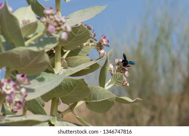 A Carpenter Bee (xylocopinae violacea) stops on a purple desert flower (Sodom's Apple) in the United Arab Emirates.