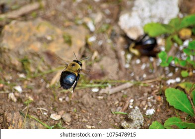 Carpenter bees aka bore bees