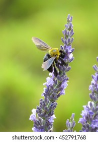 carpenter bees feeding on the lavender from nagano, Japan