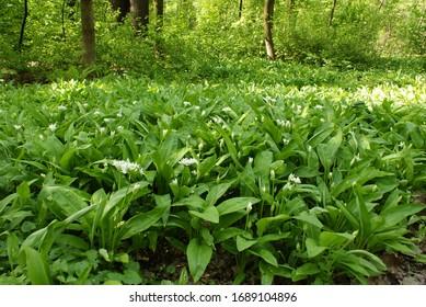 Carpet of blooming bear's garlic (Allium ursinum) in springtime forest