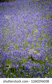A carpet of Blue bells in Woodland Gardens Carmarthenshire Wales
