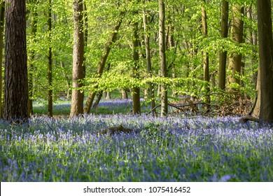 Carpet of Bluebells in Beech Wood, Buckinghamshire, England UK
