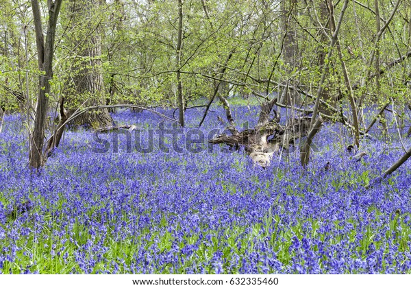 Carpet of bluebells in bloom in a woodland in an english countryside on a sunny spring day.
