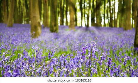 A carpet of bluebells in the woods in early morning sunlight, Hampshire, UK