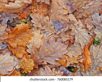 carpet of dry oak leaves after rain. Close look at the pile of the oak leaves lying on the ground covered by raindrops