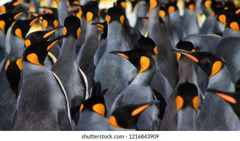 A CARPET OF FEATHERS TOSSED AMONG THE WADDLE. KING PENGUINS STAND TALL TOGETHER. COMMANDING THE BEACH WITH NO FEAR FOR HUMANS.