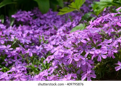 Close small pretty pink star shaped stock photo safe to use carpet of flowers mightylinksfo