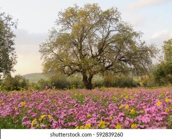 A carpet of flowers near the village of Kufr Rakeb, in irbid, north of Jordan