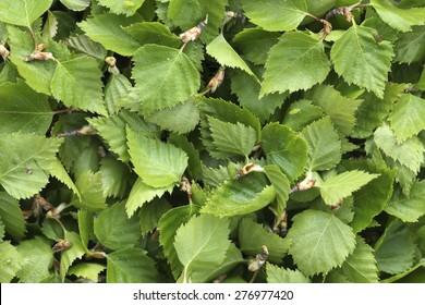 Carpet of fresh green birch leaves