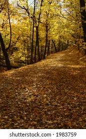 A carpet of golden maple leaves