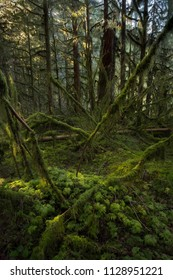 Carpet of green ferns and mosses among the second growth forests of Golden Ears Provincial Park