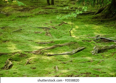 Carpet of green moss with roots from trees on a forest floor