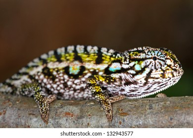 A Carpet or Jeweled or White-lined Chameleon (Furcifer lateralis) in the wilds of Madagascar (Ranomafana).  Leaves, branch, forest, foliage, tree, rain.