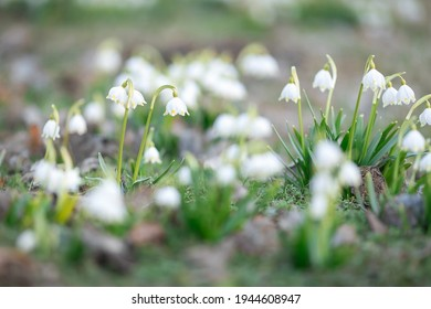 Carpet made of spring whiteflower in March. Close-up
