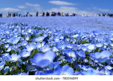日本・茨城県の日立海浜公園にあるネモフィラの花畑と青い空のじゅうたんが前景に限定