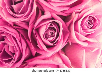 Carpet of pink Roses. Bed of Flowers. Pink Roses Dew