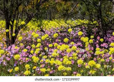 Carpet of pink, yellow and white everlasting wildflowers as far as the eye can see. Popular Coalseam Conservation Park situated in middle of the Western Australian wheat belt region.