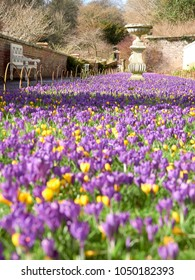 A carpet of purple crocus flowers on a lawn in an English counrty garden