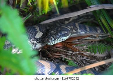 Carpet Python Morelia spilota