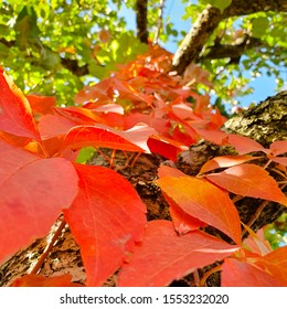 A carpet of red leaves crawling up a tree trunk