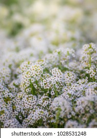 Carpet of small white fragrant flowers alyssum