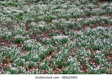 Carpet of snowdrops in the Spring sunshine in Bridlington, East Yorkshire, UK