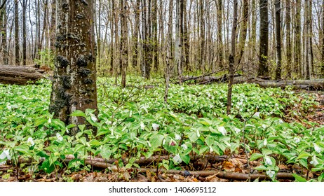 A carpet of trilliums on the woodland floor