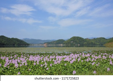 Carpet of water hyacinths and green hills on the shore of begnas lake, Nepal. Spring day near Pokhara.