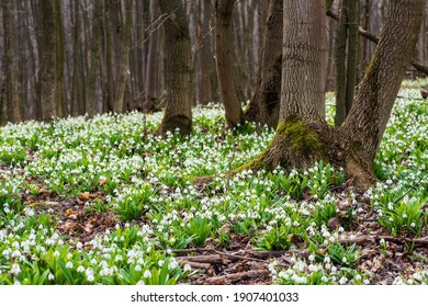 Carpet of white fresh snowdrops in spring forest. Tender spring flowers snowdrops harbingers of warming symbolize the arrival of spring. Scenic view of the spring forest with blooming flowers - Shutterstock ID 1907401033