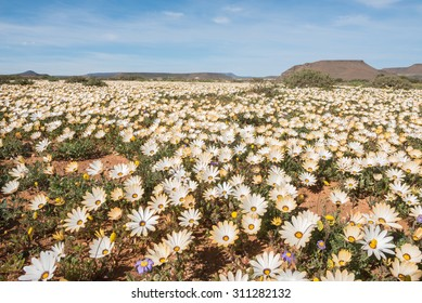A carpet of wild flowers at Gannabos near Nieuwoudtville in the Namaqualand region of the Northern Cape Province of South Africa