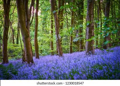 Carpets of bluebells in Woodland at Crickhowell