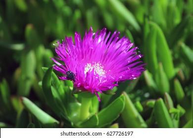 Carpobrotus edulis (Ice plant) flower head with resident beetle