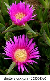 Carpobrotus edulis, a succulent plant, native to Cape region in South Africa, in regions such as the Mediterranean and parts of Australia and California, has become an invasive species.