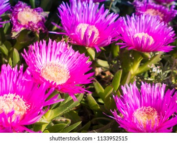 Carpobrotus is a genus of ground-creeping plants with succulent leaves and large daisy-like flowers.