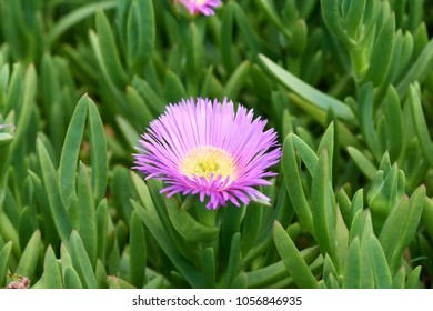 Carpobrotus glaucescens. It is a species of flowering plant in the ice plant family. It is commonly known as angular sea-fig or pigface.