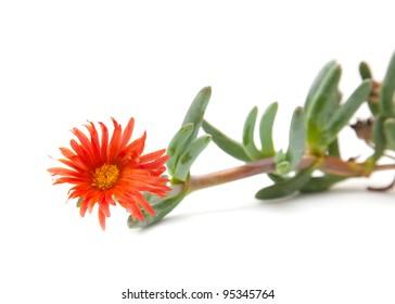 Carpobrotus, sea fig or ice plant