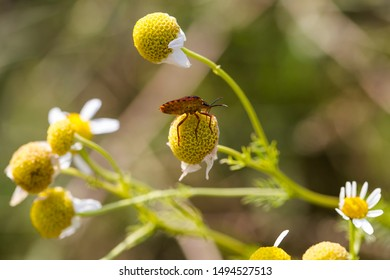 Carpocoris mediterraneus, the Red shield bug, family Pentatomidae. Tripleurospermum inodorum, wild chamomile, mayweed, false chamomile, and Baldr's brow, is the type species of Tripleurospermum.
