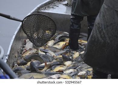 carps fish -  harvesting pond