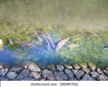 Carps of a pond