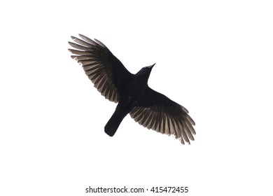 Carrian crow with wide-spread wings isolated against white background.