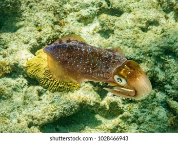 A carribbean reef squid seen in shallow waters near Boatswains Point off the West coast of Grand Cayman, Cayman Islands