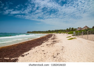 Carribean beach where turtles are born covered by seaweed due to pollution of oceans.