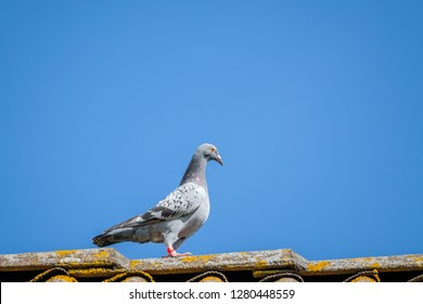 A carrier pigeon looks at the camera from the ridge of the roof with a blue sky as background.
