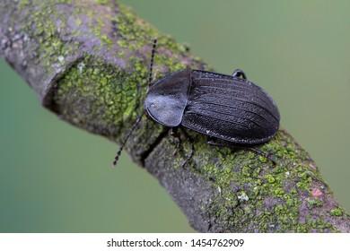 a carrion beetle - Phosphuga atrata