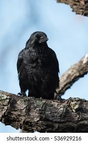 Carrion Crow, Crow, Birds