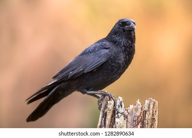 Carrion crow (Corvus corone) black bird perched on tree trunk on bright background and looking at camera