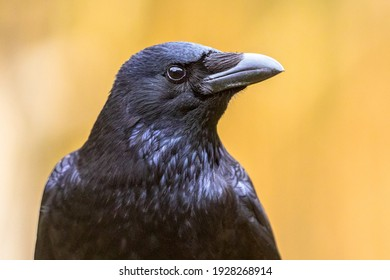 Carrion crow (Corvus corone) black bird portrait of head and looking at camera. Wildlife in nature. Netherlands