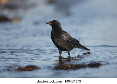 Carrion crow, Corvus corone, single bird standing by water, Galloway, Scotland, winter 2009