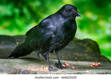Carrion crow, Dunfermline, Scotland